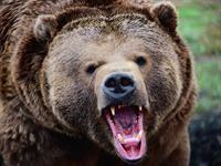 Медведь угнал гибридный автомобиль, фото 1