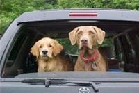 Бельгийцы будут пристегивать собак в автомобиле, фото 1